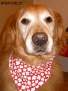 Oscar with his Canadian maple leaf scarf. http://kellylmckenzie.com/hopping-alright-gobbling-down-the-bunny-trail/